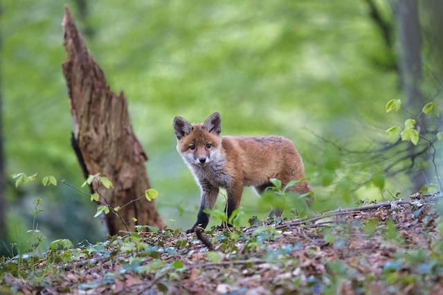 Je více škodnou liška nebo člověk?