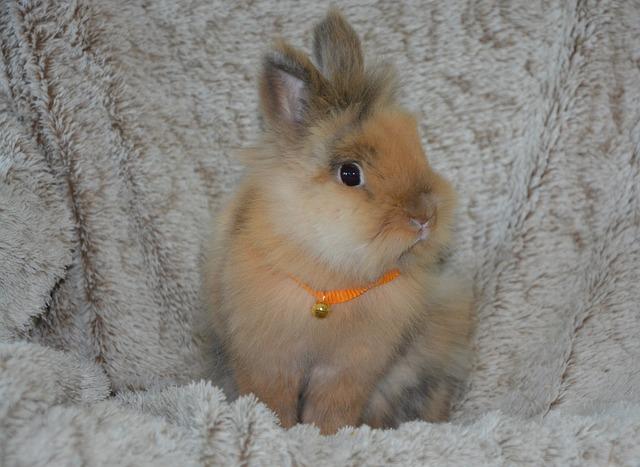 zakrslý králík s rolničkou