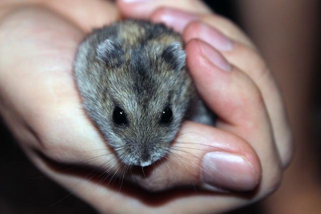 křeček, malí mazlíček